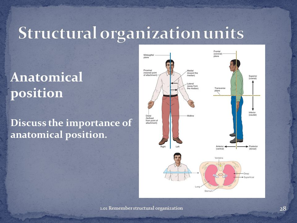27 1.01 Remember structural organization Anatomical position