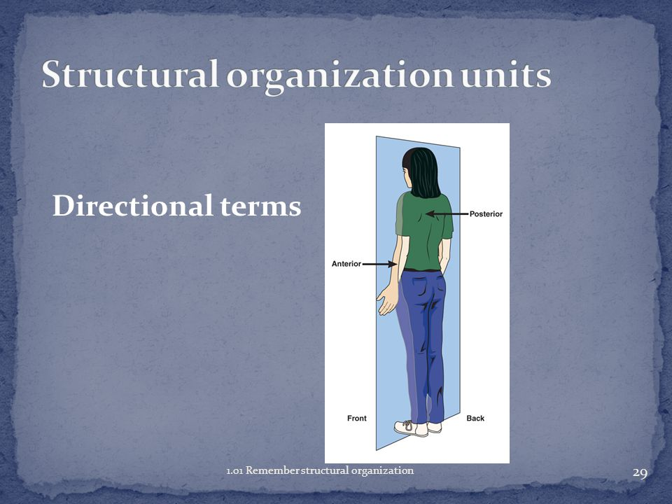 28 1.01 Remember structural organization Anatomical position Discuss the importance of anatomical position.