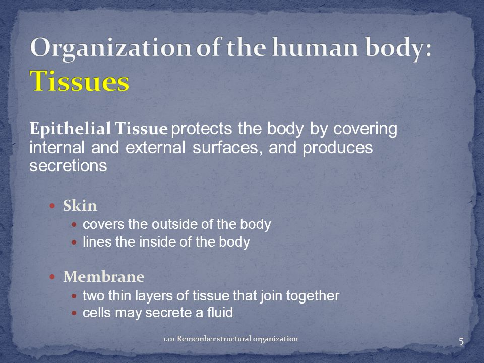 Types of tissues: Epithelial tissue Connective tissue Muscle tissue Nervous tissue 4 1.01 Remember structural organization