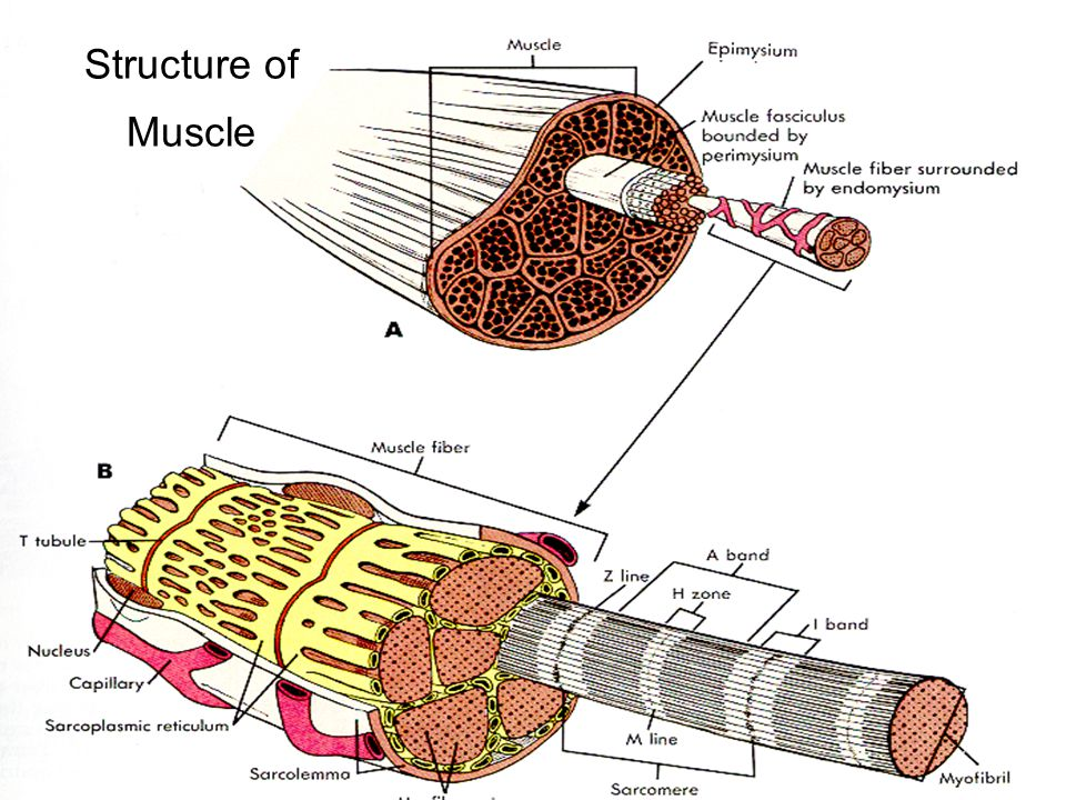 The stretch reflex arc is monosynaptic; this is the only known monosynaptic reflex.