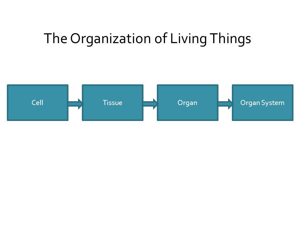CellOrganTissueOrgan System The Organization of Living Things