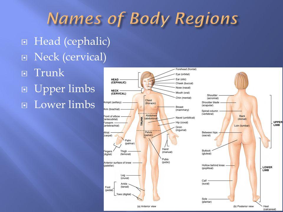  Head (cephalic)  Neck (cervical)  Trunk  Upper limbs  Lower limbs