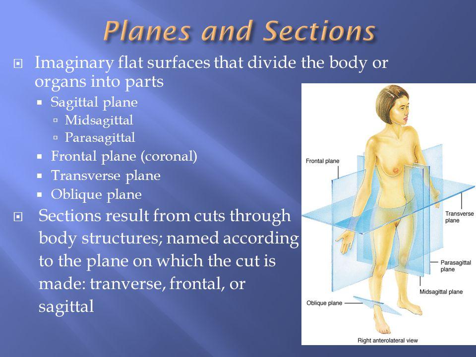  Imaginary flat surfaces that divide the body or organs into parts  Sagittal plane  Midsagittal  Parasagittal  Frontal plane (coronal)  Transver