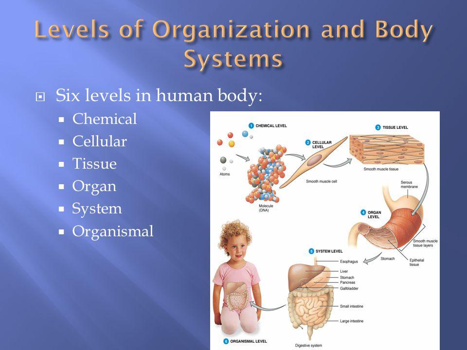 Six levels in human body:  Chemical  Cellular  Tissue  Organ  System  Organismal