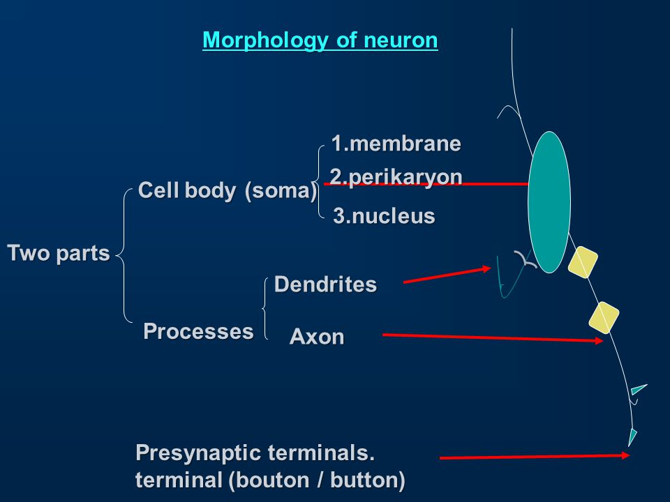 Nerve structure 1.Nerves are only in the periphery 2.