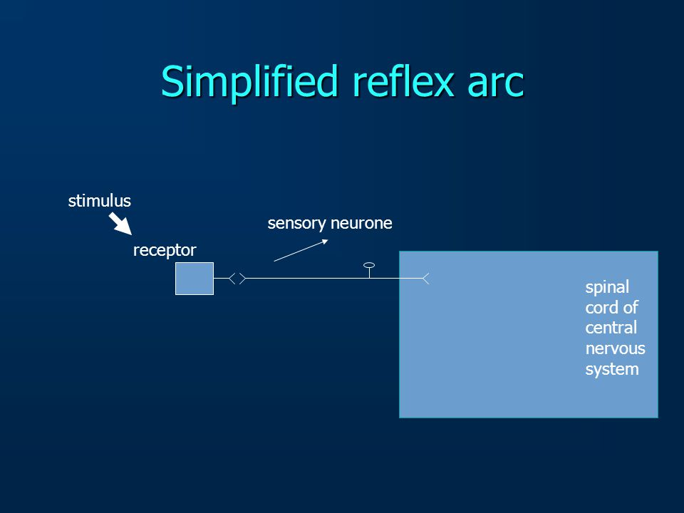 stimulus receptor sensory neurone Simplified reflex arc
