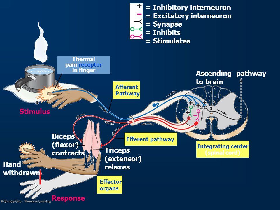 Monosynaptic Reflexes