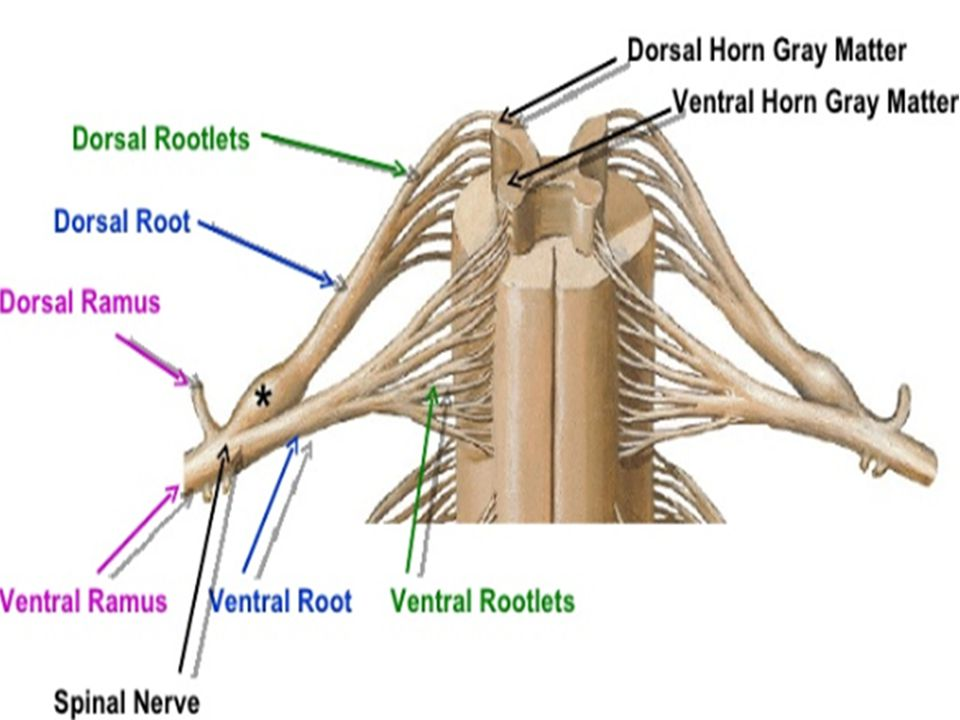 Functional Classification BRAIN SPINAL CORD (CNS) PNS AFFERENT NERVES EFFERENT NERVES EXTERO- RECEPTORS INTERO- RECEPTORS SOMATICAUTONOMIC EFFECTOR ORGANS SKELETAL MUSCLES SMOOTH AND CARDIAC MUSCLES AND GLANDS