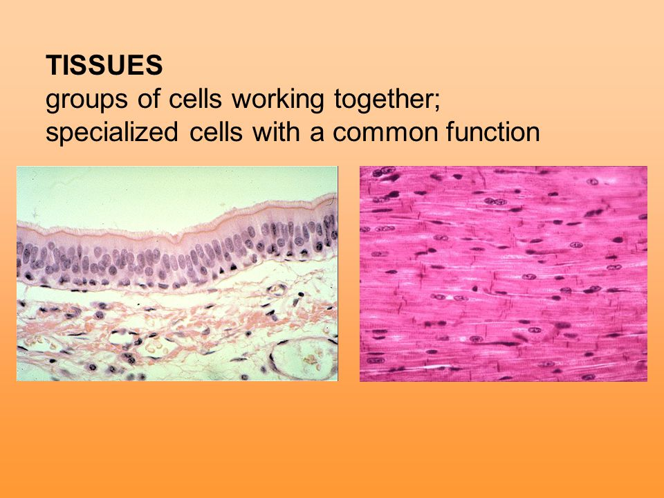 TISSUES groups of cells working together; specialized cells with a common function