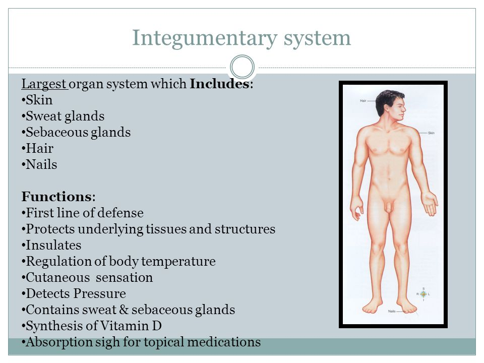Integumentary system Largest organ system which Includes: Skin Sweat glands Sebaceous glands Hair Nails Functions: First line of defense Protects underlying tissues and structures Insulates Regulation of body temperature Cutaneous sensation Detects Pressure Contains sweat & sebaceous glands Synthesis of Vitamin D Absorption sigh for topical medications