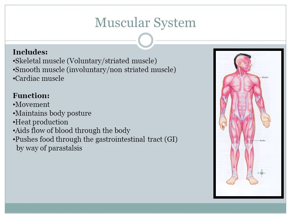 Muscular System Includes: Skeletal muscle (Voluntary/striated muscle) Smooth muscle (involuntary/non striated muscle) Cardiac muscle Function: Movemen