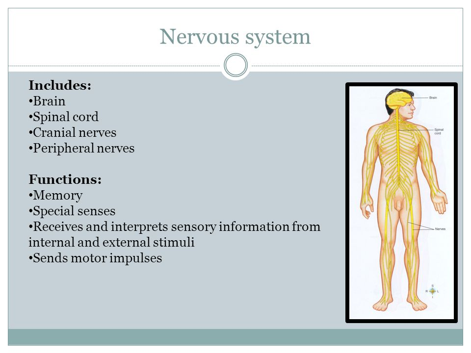 Nervous system Includes: Brain Spinal cord Cranial nerves Peripheral nerves Functions: Memory Special senses Receives and interprets sensory information from internal and external stimuli Sends motor impulses