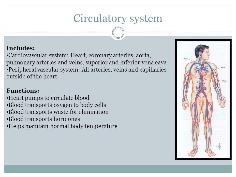 Circulatory system Includes: Cardiovascular system: Heart, coronary arteries, aorta, pulmonary arteries and veins, superior and inferior vena cava Per