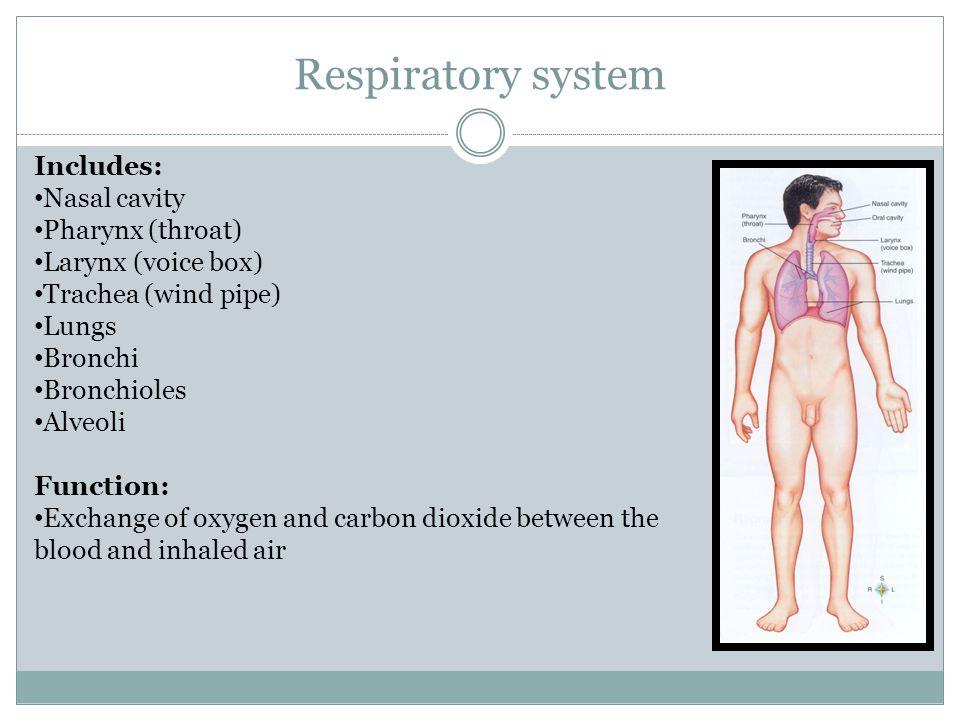Respiratory system Includes: Nasal cavity Pharynx (throat) Larynx (voice box) Trachea (wind pipe) Lungs Bronchi Bronchioles Alveoli Function: Exchange