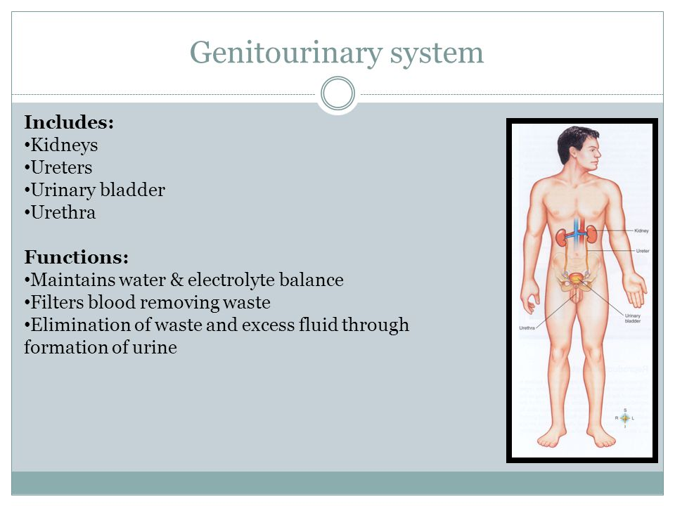 Genitourinary system Includes: Kidneys Ureters Urinary bladder Urethra Functions: Maintains water & electrolyte balance Filters blood removing waste Elimination of waste and excess fluid through formation of urine