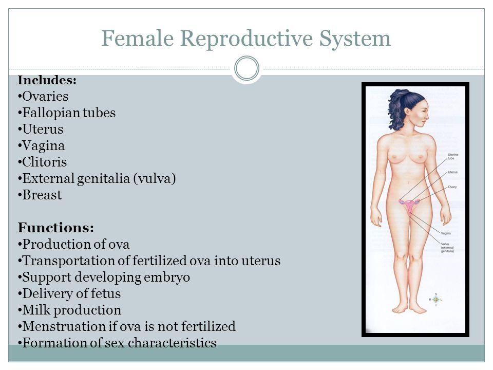 Female Reproductive System Includes: Ovaries Fallopian tubes Uterus Vagina Clitoris External genitalia (vulva) Breast Functions: Production of ova Tra