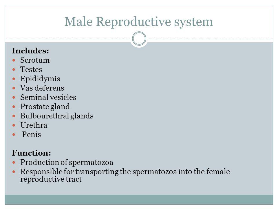 Male Reproductive system Includes: Scrotum Testes Epididymis Vas deferens Seminal vesicles Prostate gland Bulbourethral glands Urethra Penis Function: