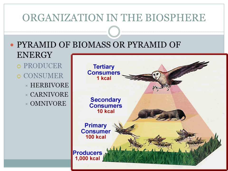 ORGANIZATION IN THE BIOSPHERE PYRAMID OF BIOMASS OR PYRAMID OF ENERGY  PRODUCER  CONSUMER  HERBIVORE  CARNIVORE  OMNIVORE