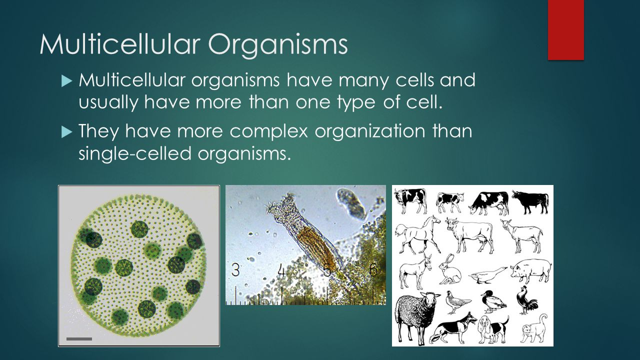 Multicellular Organisms  Multicellular organisms have many cells and usually have more than one type of cell.