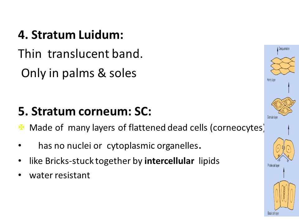 4. Stratum Luidum: Thin translucent band. Only in palms & soles 5. Stratum corneum: SC:  Made of many layers of flattened dead cells (corneocytes), h