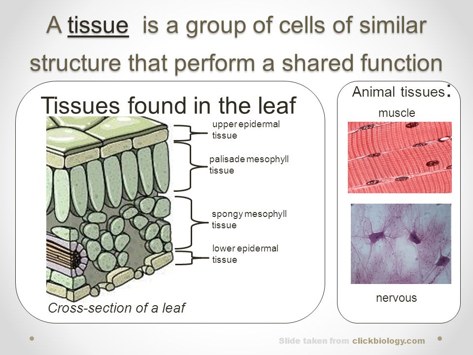 A tissue is a group of cells of similar structure that perform a shared function Animal tissues : muscle nervous upper epidermal tissue palisade mesop