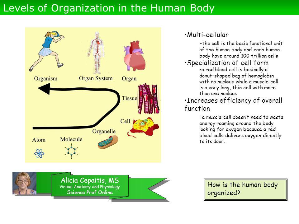 Alicia Cepaitis, MS Virtual Anatomy and Physiology Science Prof Online Alicia Cepaitis, MS Virtual Anatomy and Physiology Science Prof Online How is the human body organized.