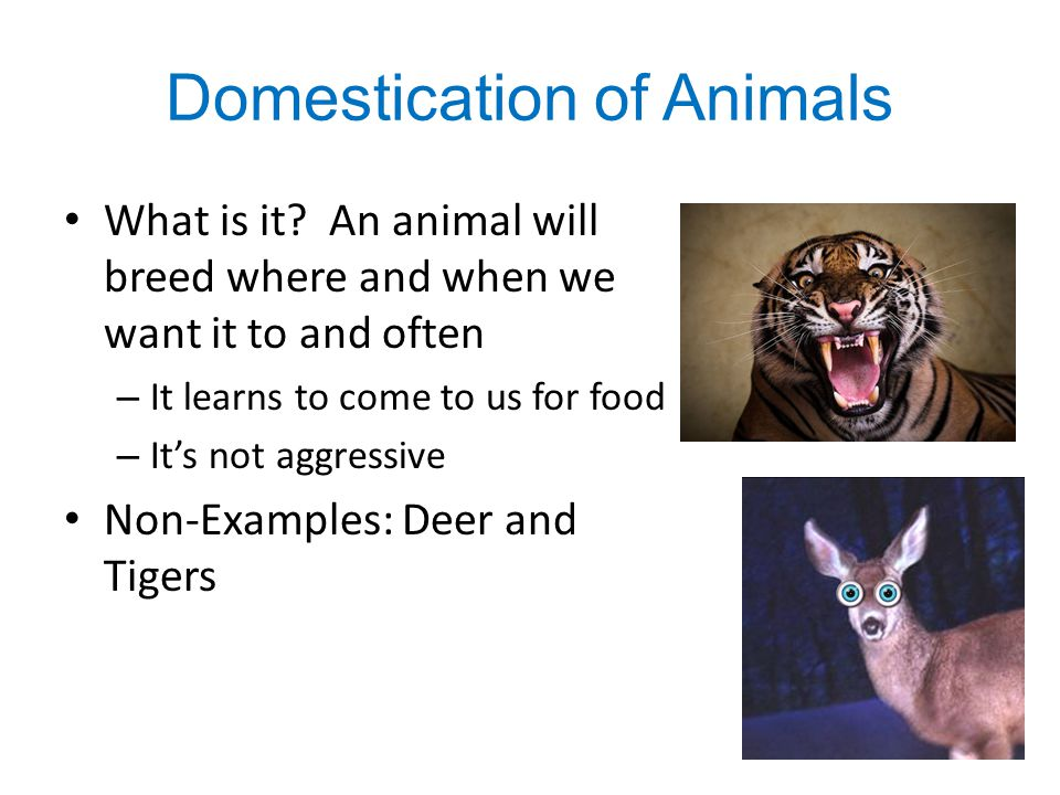 Domestication of Animals What is it? An animal will breed where and when we want it to and often – It learns to come to us for food – It's not aggress