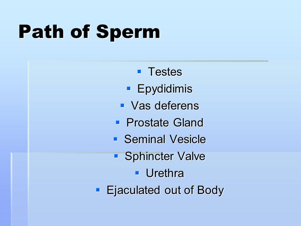 Path of Sperm  Testes  Epydidimis  Vas deferens  Prostate Gland  Seminal Vesicle  Sphincter Valve  Urethra  Ejaculated out of Body