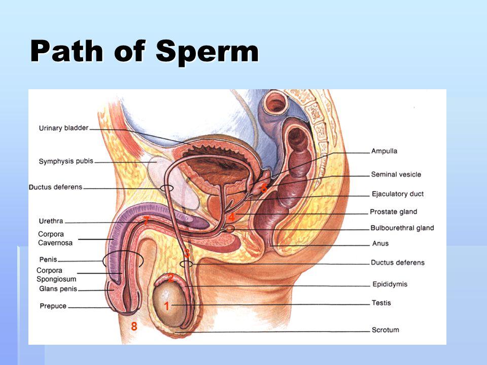 Path of Sperm 1 2 3 4 5 7 8