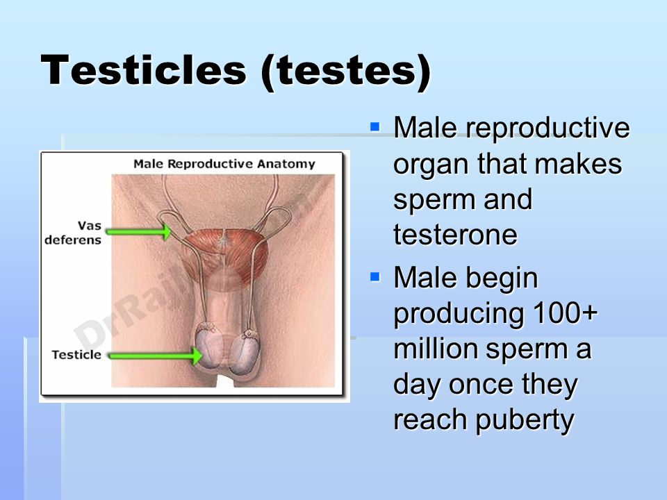Testicles (testes)  Male reproductive organ that makes sperm and testerone  Male begin producing 100+ million sperm a day once they reach puberty