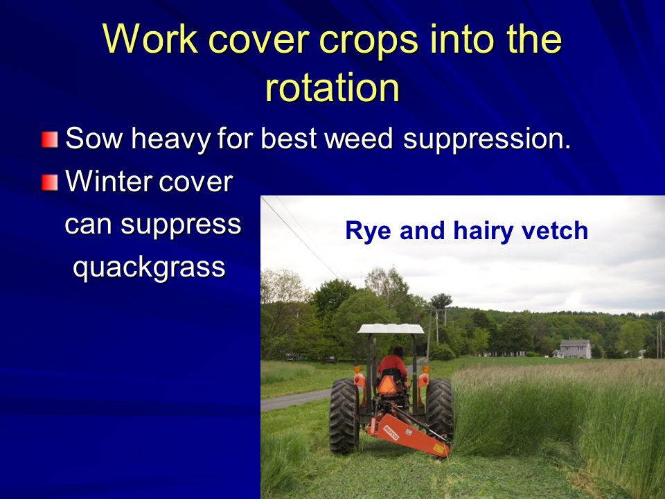 Work cover crops into the rotation Sow heavy for best weed suppression.