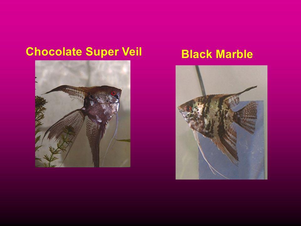 Chocolate Super Veil Black Marble