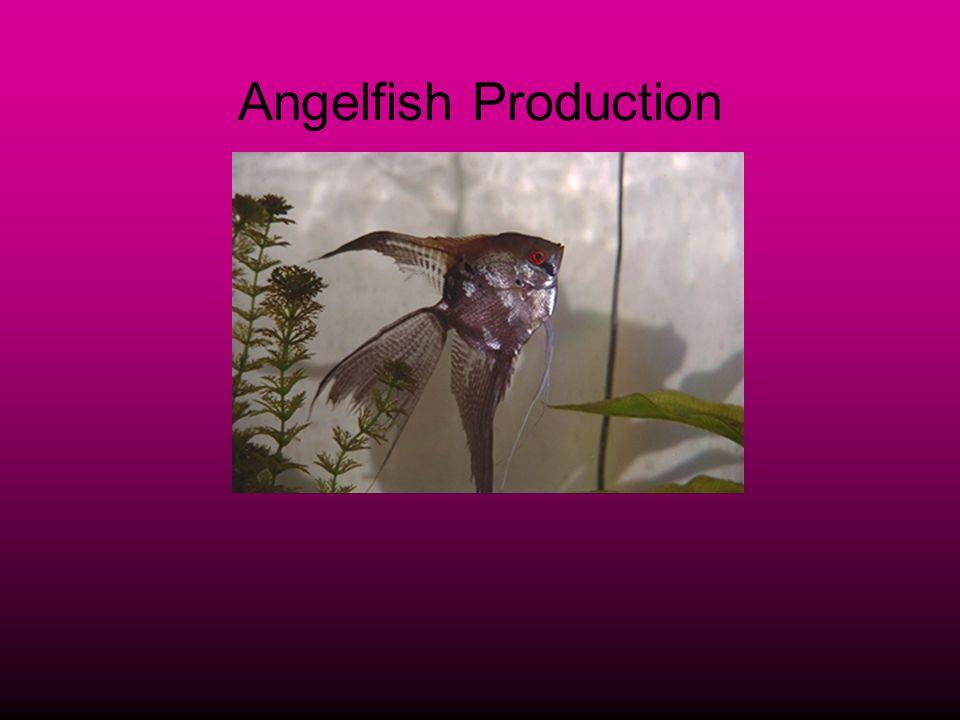 Angelfish Production