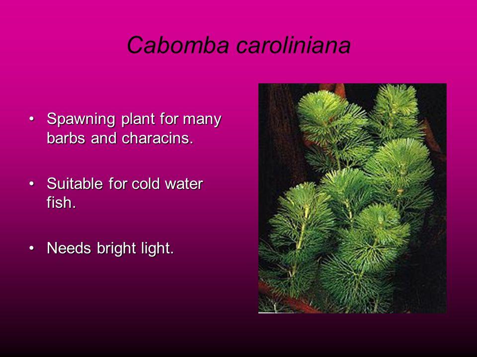 Cabomba caroliniana Spawning plant for many barbs and characins.Spawning plant for many barbs and characins.