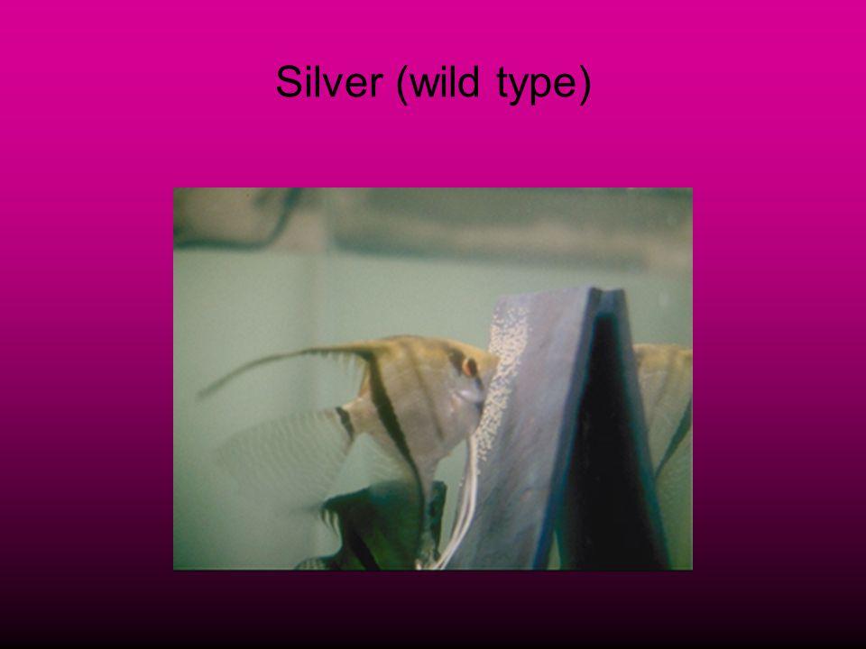 Silver (wild type)
