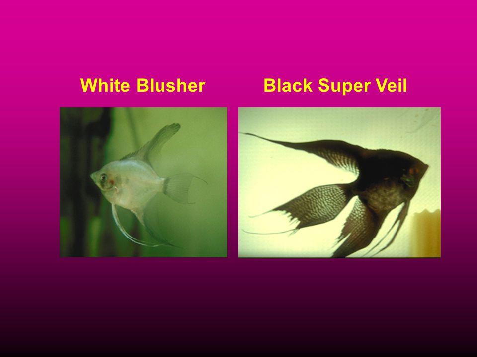 White BlusherBlack Super Veil