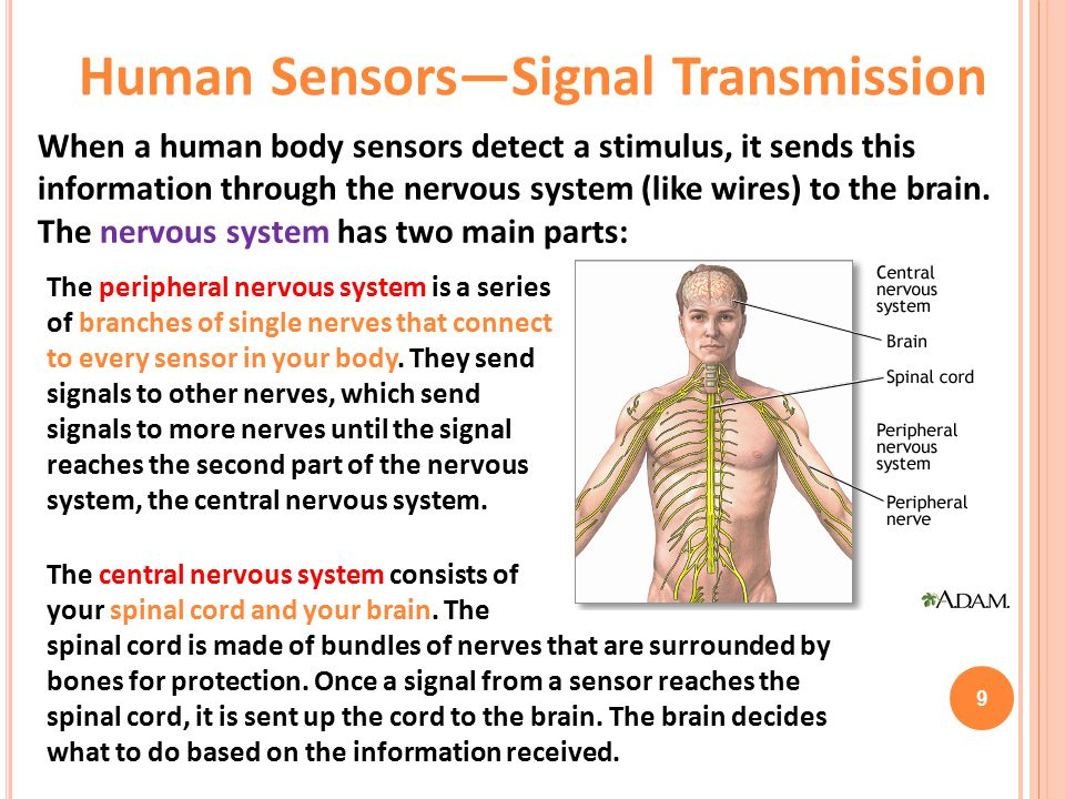 The peripheral nervous system is a series of branches of single nerves that connect to every sensor in your body.