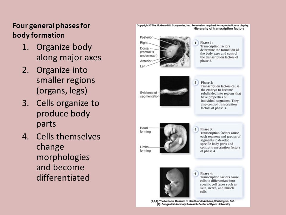 Four general phases for body formation 1.Organize body along major axes 2.Organize into smaller regions (organs, legs) 3.Cells organize to produce body parts 4.Cells themselves change morphologies and become differentiated