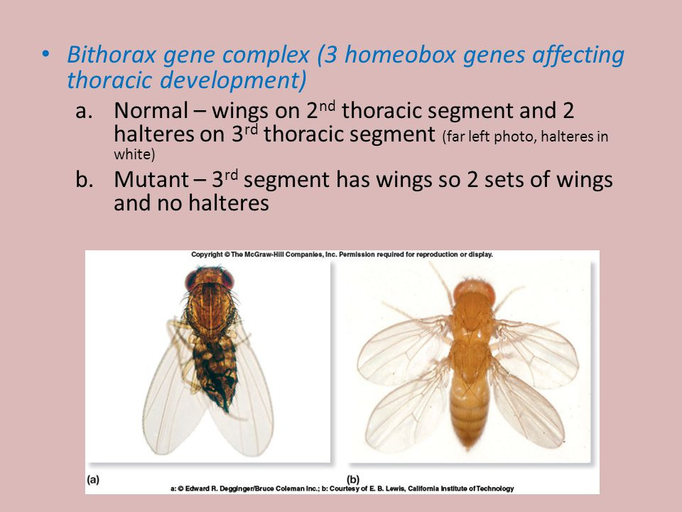 7 Bithorax gene complex (3 homeobox genes affecting thoracic development) a.Normal – wings on 2 nd thoracic segment and 2 halteres on 3 rd thoracic segment (far left photo, halteres in white) b.Mutant – 3 rd segment has wings so 2 sets of wings and no halteres