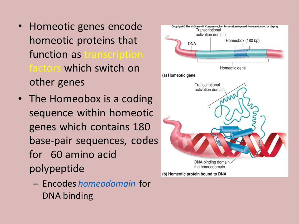 Homeotic genes encode homeotic proteins that function as transcription factors which switch on other genes The Homeobox is a coding sequence within homeotic genes which contains 180 base-pair sequences, codes for 60 amino acid polypeptide – Encodes homeodomain for DNA binding