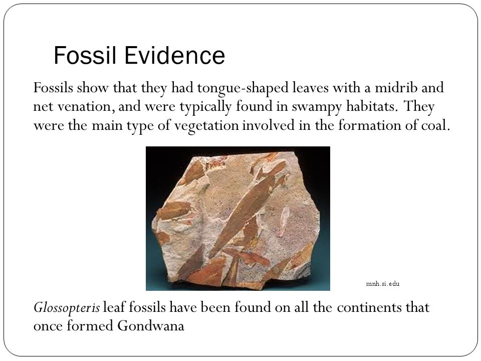 Fossil Evidence Fossils show that they had tongue-shaped leaves with a midrib and net venation, and were typically found in swampy habitats.