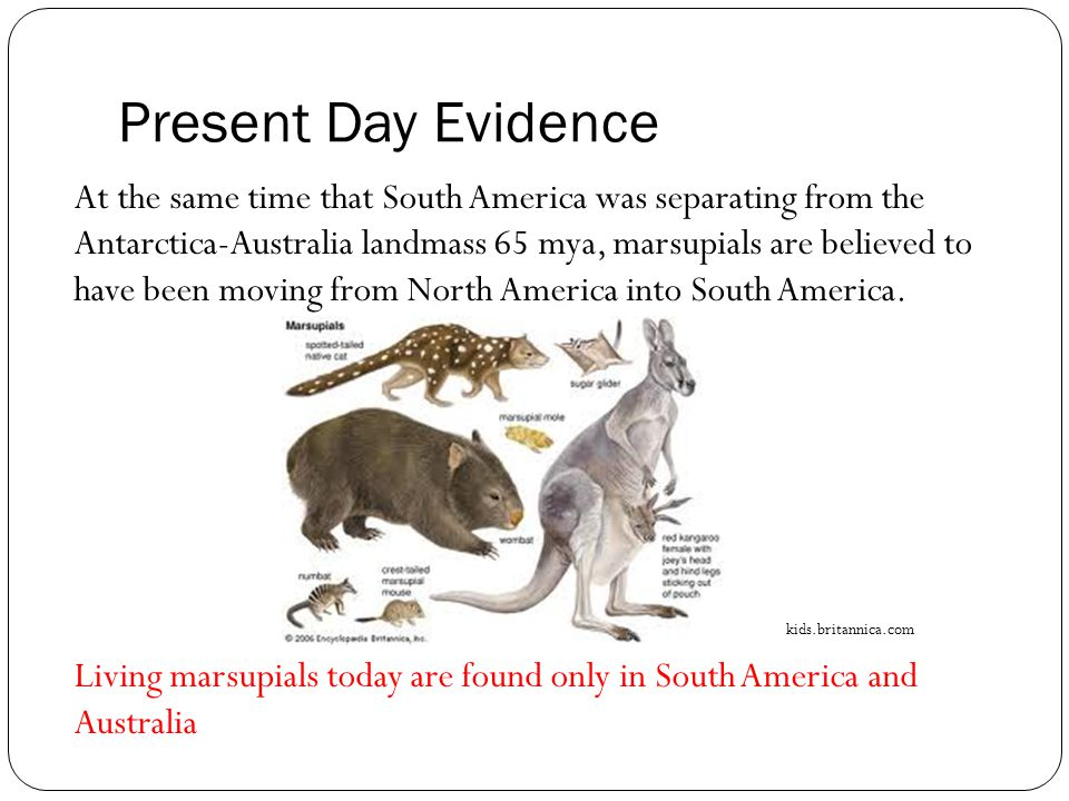 Present Day Evidence At the same time that South America was separating from the Antarctica-Australia landmass 65 mya, marsupials are believed to have