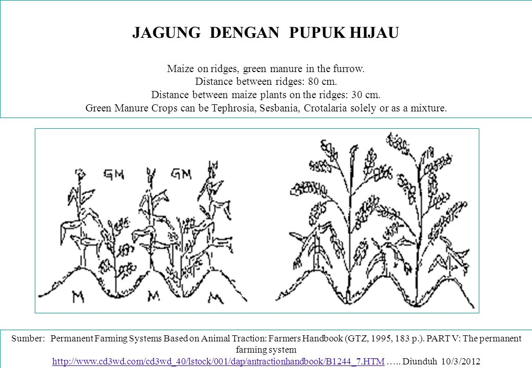 TUMPANGSARI LEGUME DENGAN NON-LEGUME Treatment 2 or Plot 2 (between second and third contour bond) Maize and Beans and Cocoyam: Maize and Cocoyam/Beans are planted on alternative ridges.] Distance between the ridges: 80 cm.