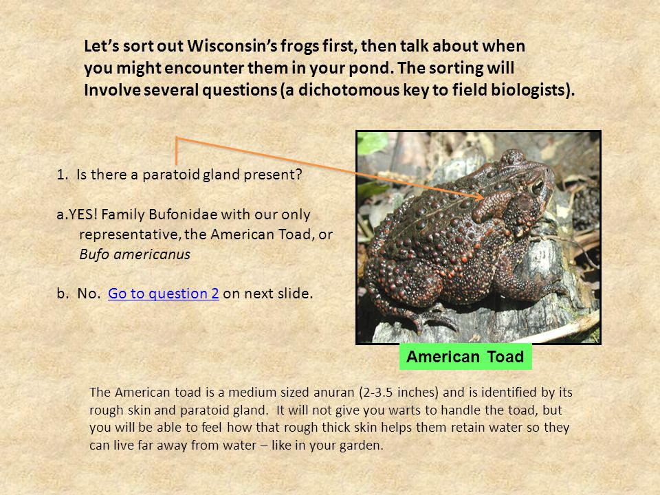 Let's sort out Wisconsin's frogs first, then talk about when you might encounter them in your pond.