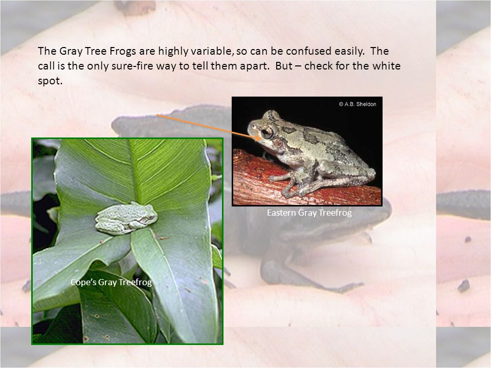 The Gray Tree Frogs are highly variable, so can be confused easily.