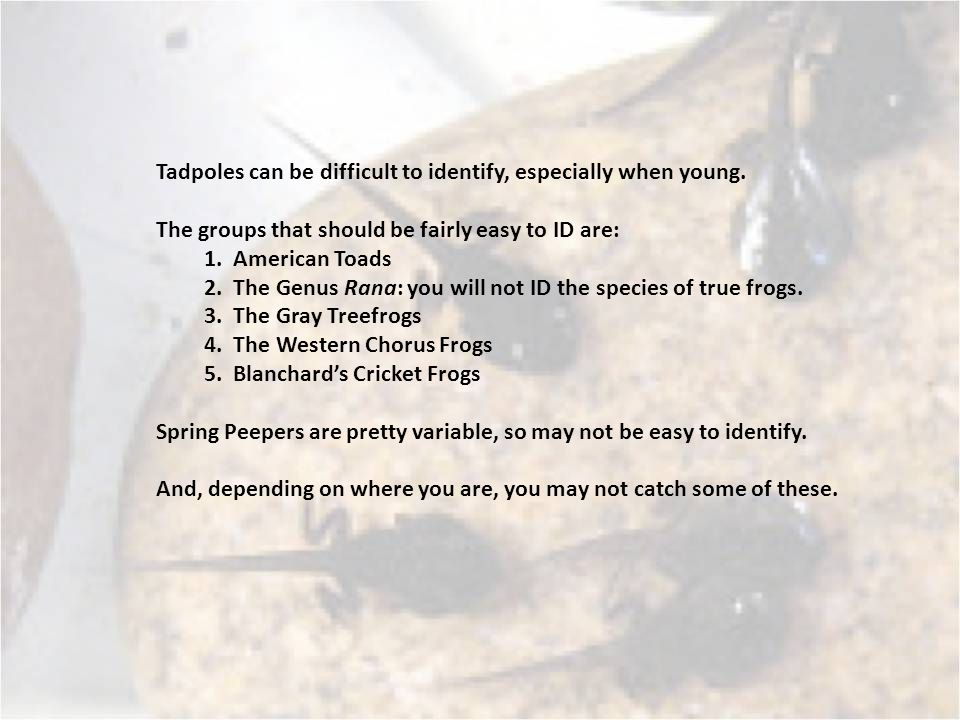 Tadpoles can be difficult to identify, especially when young.