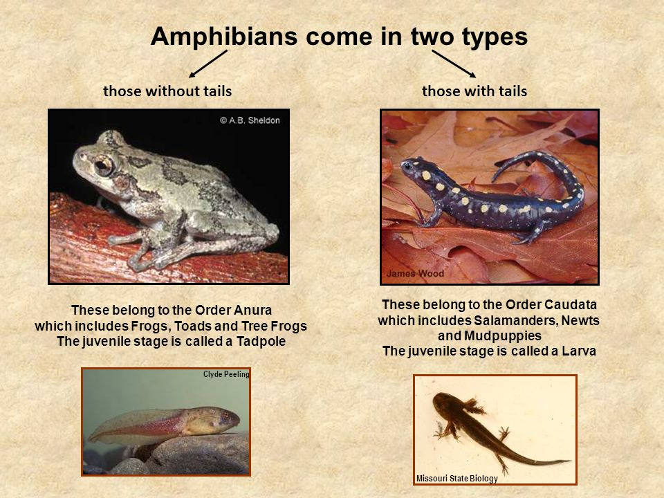 While you are out looking for salamanders, you will also encounter the tailless amphibians – the Anurans.
