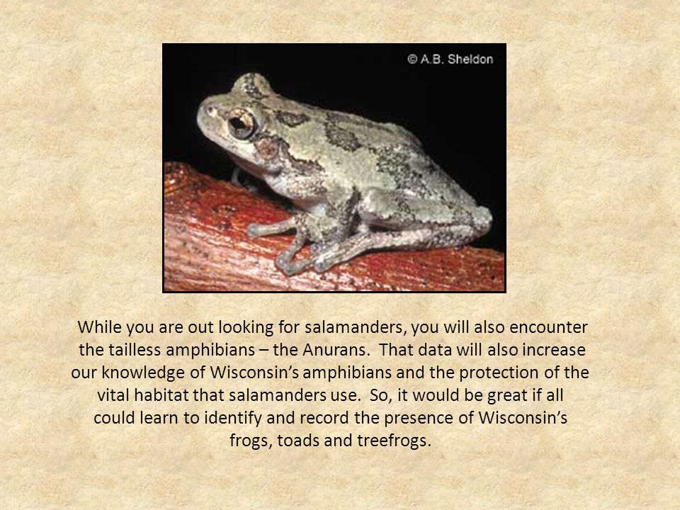Order Anura Anurans divide into three families Hylidae: Treefrogs Western Chorus Frog Blanchard's Cricket Frog Spring Peeper Eastern Gray Treefrog Cope's Gray Treefrog Ranidae: True Frogs Mink Frog Bullfrog Pickerel Frog Northern Leopard Frog Green Frog Wood Frog Bufonidae: Toads American Toad