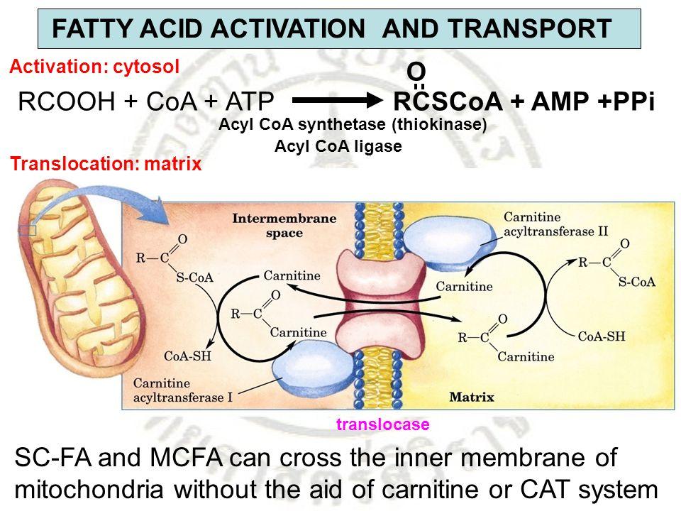 FATTY ACID ACTIVATION AND TRANSPORT RCOOH + CoA + ATP RCSCoA + AMP +PPi O Acyl CoA synthetase (thiokinase) SC-FA and MCFA can cross the inner membrane