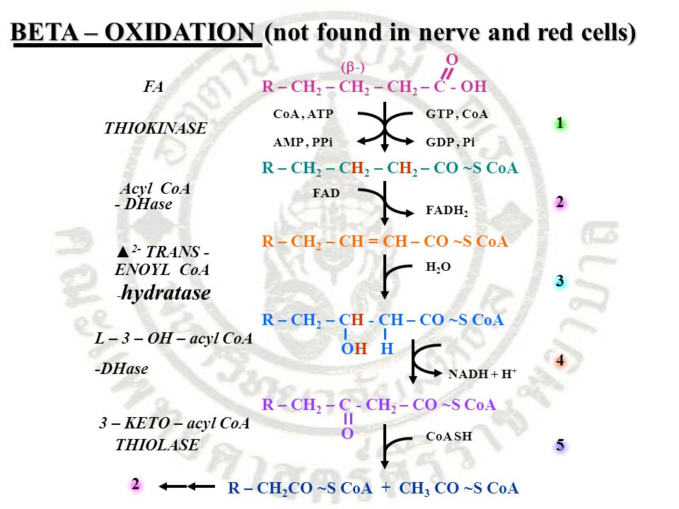 BETA – OXIDATION (not found in nerve and red cells) FAR – CH 2 – CH 2 – CH 2 – C - OH O R – CH 2 – CH 2 – CH 2 – CO ~S CoA R – CH 2 – CH = CH – CO ~S